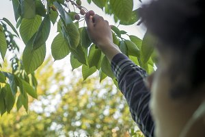 close up person's hand gathering berries from the tree