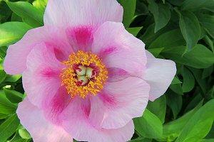 Tree peony pink flower.