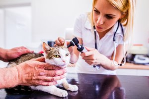 Cat during having otoscope examination at veterinary clinic.