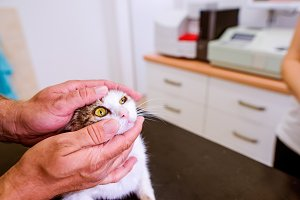 Veterinarian examining cat with sore eye at Veterinary clinic.
