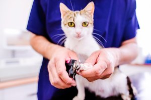 Veterinarian cutting toenails to cute little kitten in veterinar