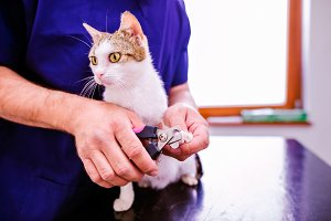 Veterinarian cutting toenails to cute little kitten in veterinar