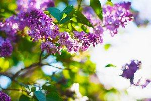 Branch of lilac flowers.