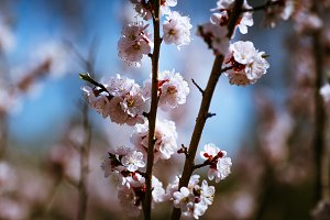 blooming apricot on a background of a spring sky