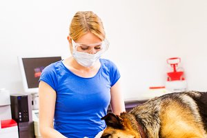 Veterinarian examining German Shepherd dog with sore mouth.