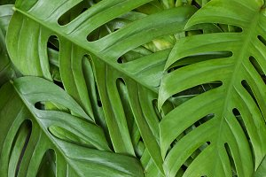 Monstera liana, vine top view still life background tropical wal