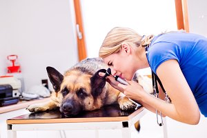 Veterinarian examining German Shepherd dog with sore ear.