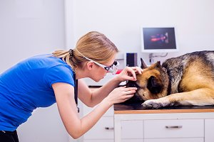 Veterinarian examining German Shepherd dog with sore eye.