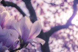 Magnolia blossoms II