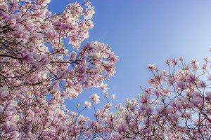 Magnolia blossoms III