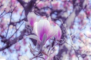 Magnolia blossoms IV