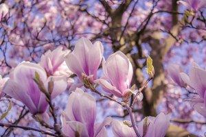 Magnolia blossoms V