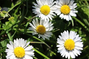 White Daisies White Flowers