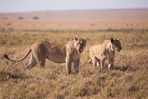 Lioness in masai mara in kenya afric