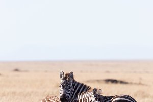 embraced zebras in Masai Mara, Kenya