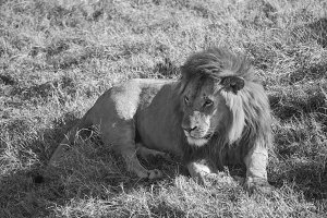 lion with bloodstained face Masai Ma