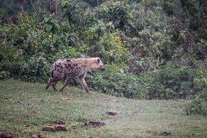 Hyena in aberdare kenya