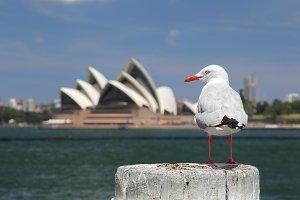 Silver Gull in Sydney