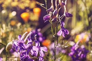 Lilla flowers in sunny garden