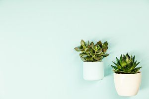 Succulent on blue background