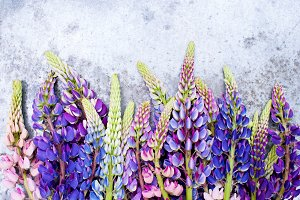 Background with bright lupines