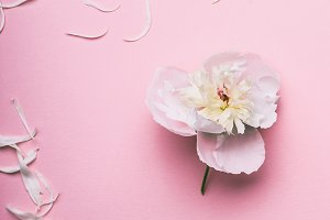White flowers and petals on pink