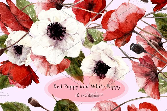 Red Poppy And White Poppy