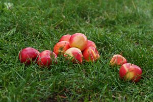 red juicy apples on green grass.