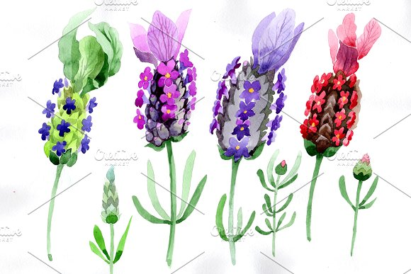 Colorful Summer Lavender PNG Set