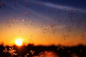 одуванчики летят на закатном небе