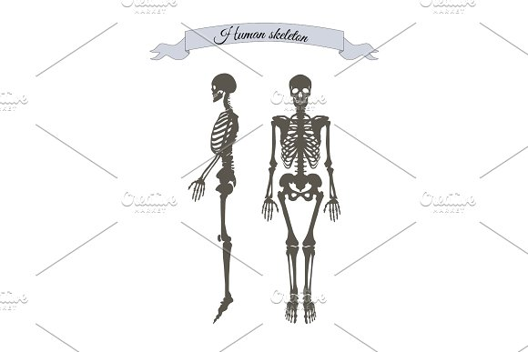 Human Skeleton System Banner Vector Illustration