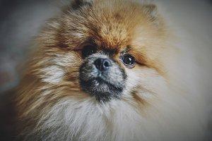 Pomeranian, Dog, Spitz