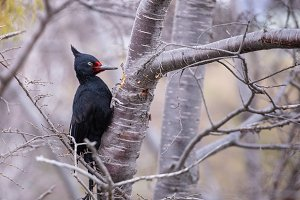 Carpenter bird in the city of Ushuai