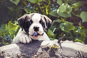Puppy american bulldog for a walk in the park
