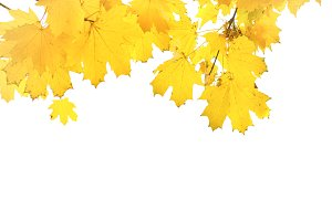 Autumn orange maple leaves