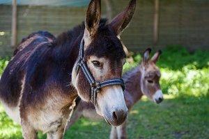 donkey with cub