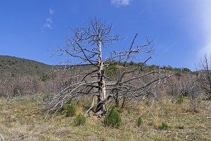 The dried relic juniper.