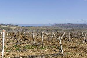 Old vineyard in the spring. Crimea.