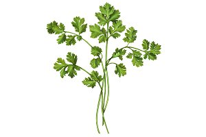 Cilantro Pencil Drawing Isolated