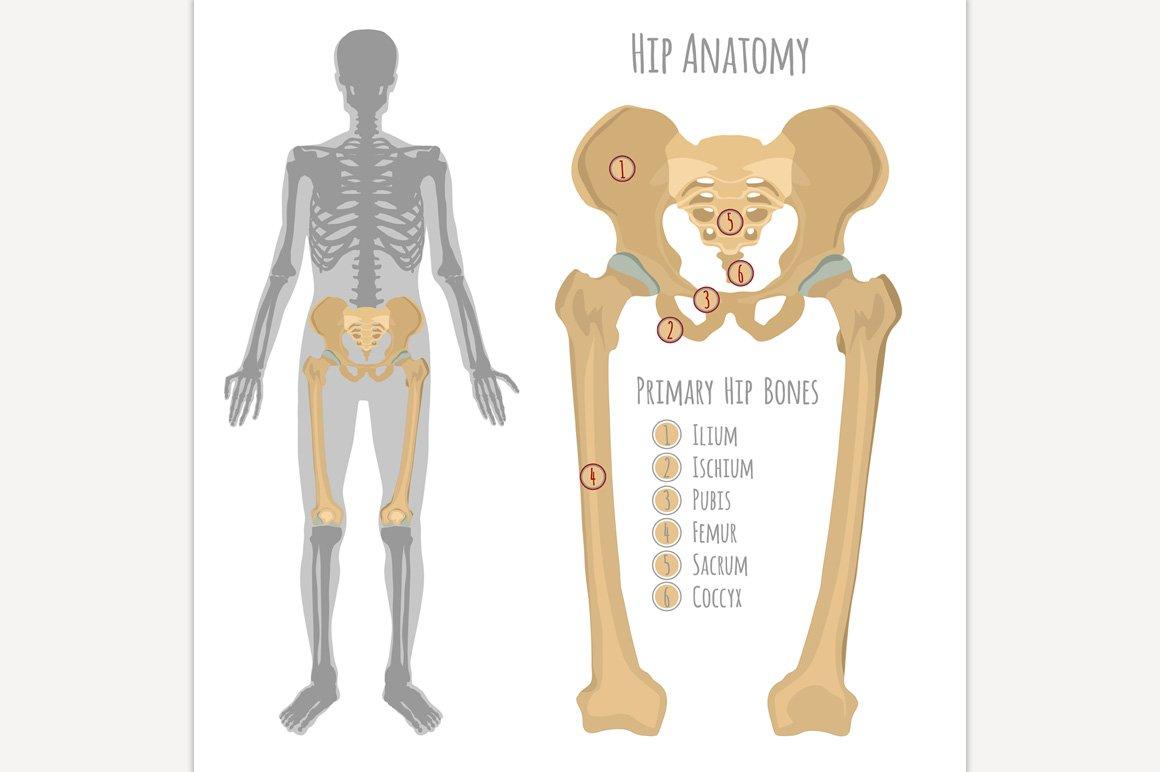 Male Hip Bone Anatomy ~ Illustrations ~ Creative Market