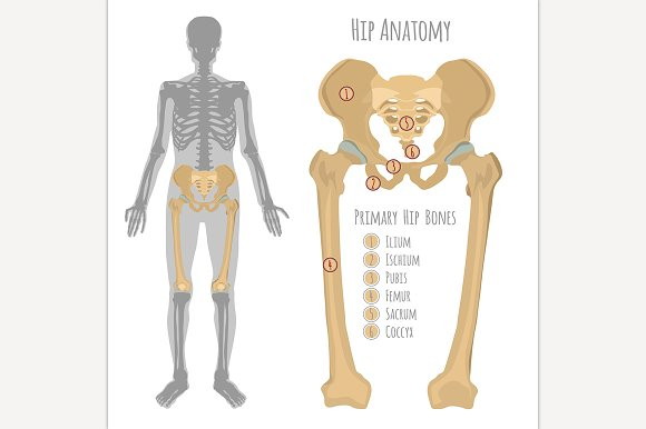 Male Hip Bone Anatomy