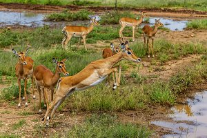 Impala leaping