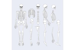 Human Skeletal System Parts Vector Illustration