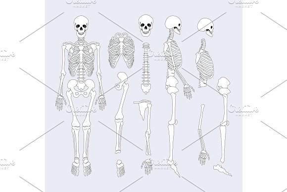 Human Skeletal System Parts Vector Illustration