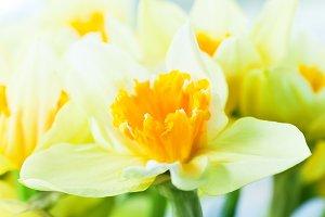 Jonquil - spring flower