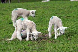 Lambs newborn playful