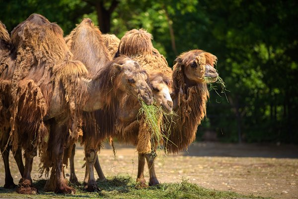 Animal Stock Photos: Nick Fox  - Three Bactrian camels feeding