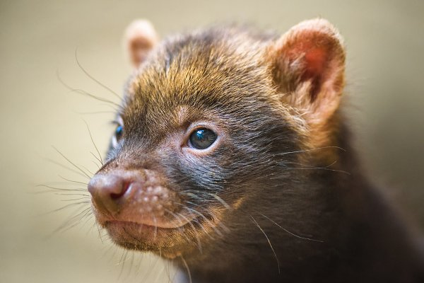 Animal Stock Photos: Nick Fox  - Portrait of a bush dog puppy