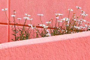 Plants on pink concept.  Chamomile