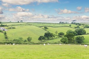 Idillic landscape with sheep, lambs, ram on a perfect juicy gree